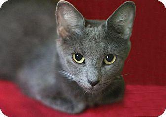 Domestic Shorthair Cat for adoption in New Prague, Minnesota - Phantom Blue