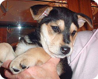 Labrador Retriever/Shepherd (Unknown Type) Mix Puppy for adoption in White Bear Lake, Minnesota - Stella