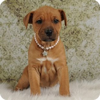 Australian Cattle Dog/Pit Bull Terrier Mix Puppy for adoption in Las Vegas, Nevada - Slinkie's Polly Pocket- Rosabe