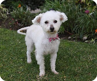 Poodle (Miniature)/Westie, West Highland White Terrier Mix Dog for adoption in Newport Beach, California - MARGIE