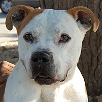 English Bulldog/Pit Bull Terrier Mix Dog for adoption in Las Vegas, Nevada - Rod