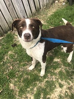 Border Collie Dog for adoption in Jackson, Mississippi - Tucker