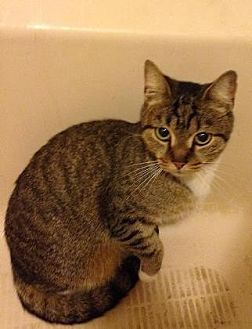Domestic Shorthair Cat for adoption in New York, New York - Libra