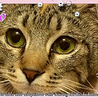 "Adopt A Pet :: Halo - the happy ""torbyssinian - Tucson, AZ"