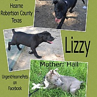 American Pit Bull Terrier Mix Puppy for adoption in Hearne, Texas - Lizzy