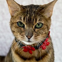 Adopt A Pet :: Lulu - Fort Lauderdale, FL