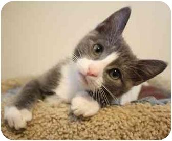 Domestic Shorthair Kitten for adoption in Okotoks, Alberta - Ashton