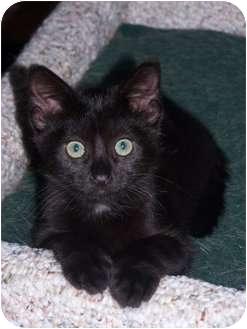 Domestic Shorthair Cat for adoption in Owatonna, Minnesota - Minnie