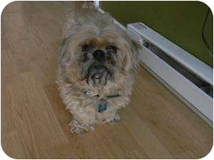 Shih Tzu Dog for adoption in Carey, Ohio - Sammy