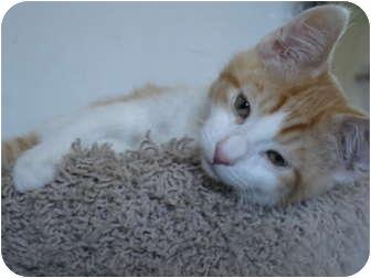 Domestic Shorthair Kitten for adoption in Davis, California - Motley