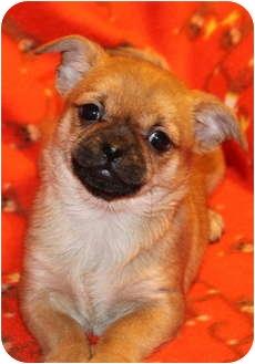 Pekingese/Chihuahua Mix Puppy for adoption in Newark, Delaware - Pikachu