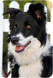 Border Collie Dog for adoption in San Pedro, California - APOLLO