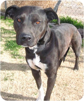 American Staffordshire Terrier Mix Dog for adoption in Alamogordo, New Mexico - Mitzi