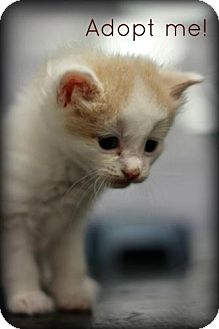 Domestic Shorthair Kitten for adoption in mishawaka, Indiana - Congo - PAWMART