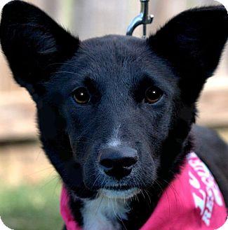 Shepherd (Unknown Type) Mix Puppy for adoption in Wakefield, Rhode Island - SHADOW(SO SMART!!!)