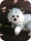 Maltese/Lhasa Apso Mix Dog for adoption in Santa Monica, California - Bella
