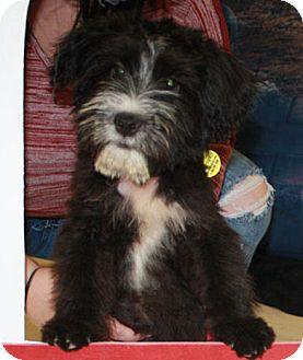 Schnauzer (Standard) Mix Puppy for adoption in Cheney, Kansas - Allie