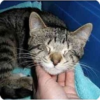 Adopt A Pet :: Jade - blind kitten - Montgomery, IL