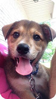 German Shepherd Dog/Beagle Mix Puppy for adoption in Somers, Connecticut - Berkley