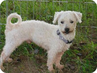 Poodle (Miniature)/Maltese Mix Dog for adoption in Haggerstown, Maryland - Buddy