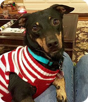Dachshund/Terrier (Unknown Type, Small) Mix Dog for adoption in Huntsville, Alabama - Max