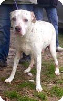 Dalmatian Dog for adoption in Mount Pleasant, South Carolina - Sir William