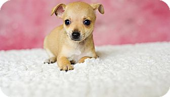 Chihuahua Mix Puppy for adoption in Houston, Texas - Hazel
