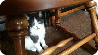 Domestic Shorthair Kitten for adoption in Statesville, North Carolina - Forest