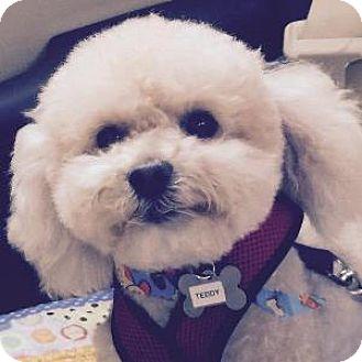 Bichon Frise Mix Dog for adoption in La Costa, California - Teddy