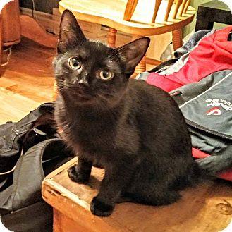 Domestic Shorthair Kitten for adoption in THORNHILL, Ontario - Talia