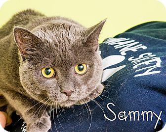 Domestic Shorthair Cat for adoption in Somerset, Pennsylvania - Sammy