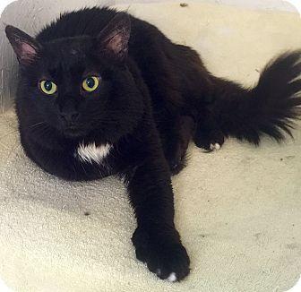 Hemingway/Polydactyl Cat for adoption in Mount Pleasant, South Carolina - Dawson