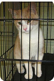 Domestic Shorthair Cat for adoption in Ada, Oklahoma - Winston