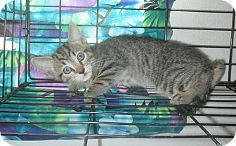 Domestic Shorthair Kitten for adoption in Mims, Florida - Thelma