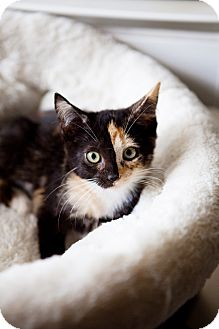 Calico Kitten for adoption in Jacksonville, Florida - Gemini