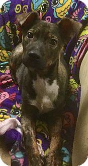 Labrador Retriever/German Shepherd Dog Mix Puppy for adoption in Phoenix, Arizona - Buddy