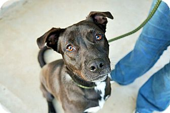 Labrador Retriever Mix Dog for adoption in Austin, Texas - Millie