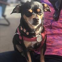 Adopt A Pet :: Lyla - Rancho Santa Fe, CA