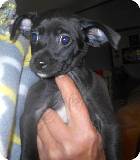 Chihuahua/Rat Terrier Mix Puppy for adoption in Allentown, New Jersey - Dora