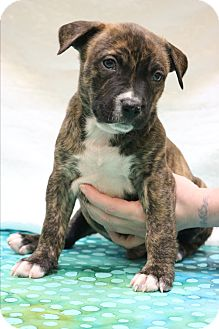 American Pit Bull Terrier/Border Collie Mix Puppy for adoption in Bedminster, New Jersey - Declan