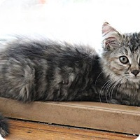 Domestic Mediumhair Kitten for adoption in Millersville, Maryland - Ember