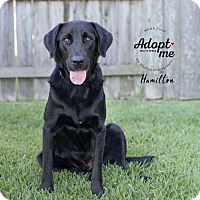 Adopt A Pet :: Hamilton - Houston, TX