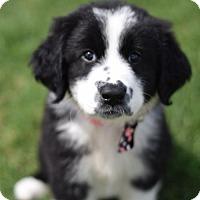 Adopt A Pet :: Kit - Frisco, TX