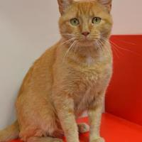 Domestic Shorthair/Domestic Shorthair Mix Cat for adoption in Elkhorn, Wisconsin - Farley FIV+