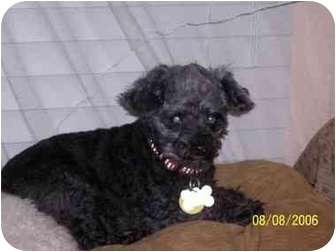 Poodle (Toy or Tea Cup) Mix Dog for adoption in Melbourne, Florida - IRIS