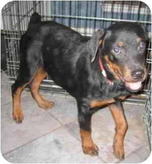 Rottweiler Puppy for adoption in Cedar Creek, Texas - Ella