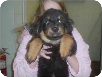 Rottweiler/Collie Mix Puppy for adoption in Eaton, Indiana - nicholas