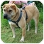 Photo 1 - Shar Pei Mix Dog for adoption in Sacramento, California - Mollie URGENT