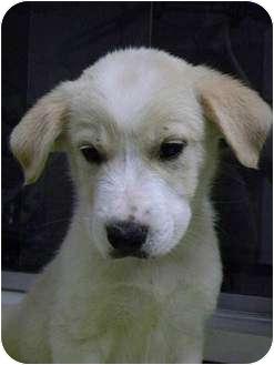 Labrador Retriever/Australian Shepherd Mix Puppy for adoption in FOSTER, Rhode Island - Jericho