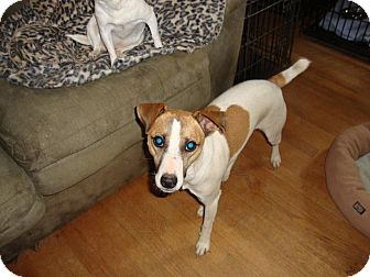 Jack Russell Terrier Mix Dog for adoption in Leesport, Pennsylvania - Prince